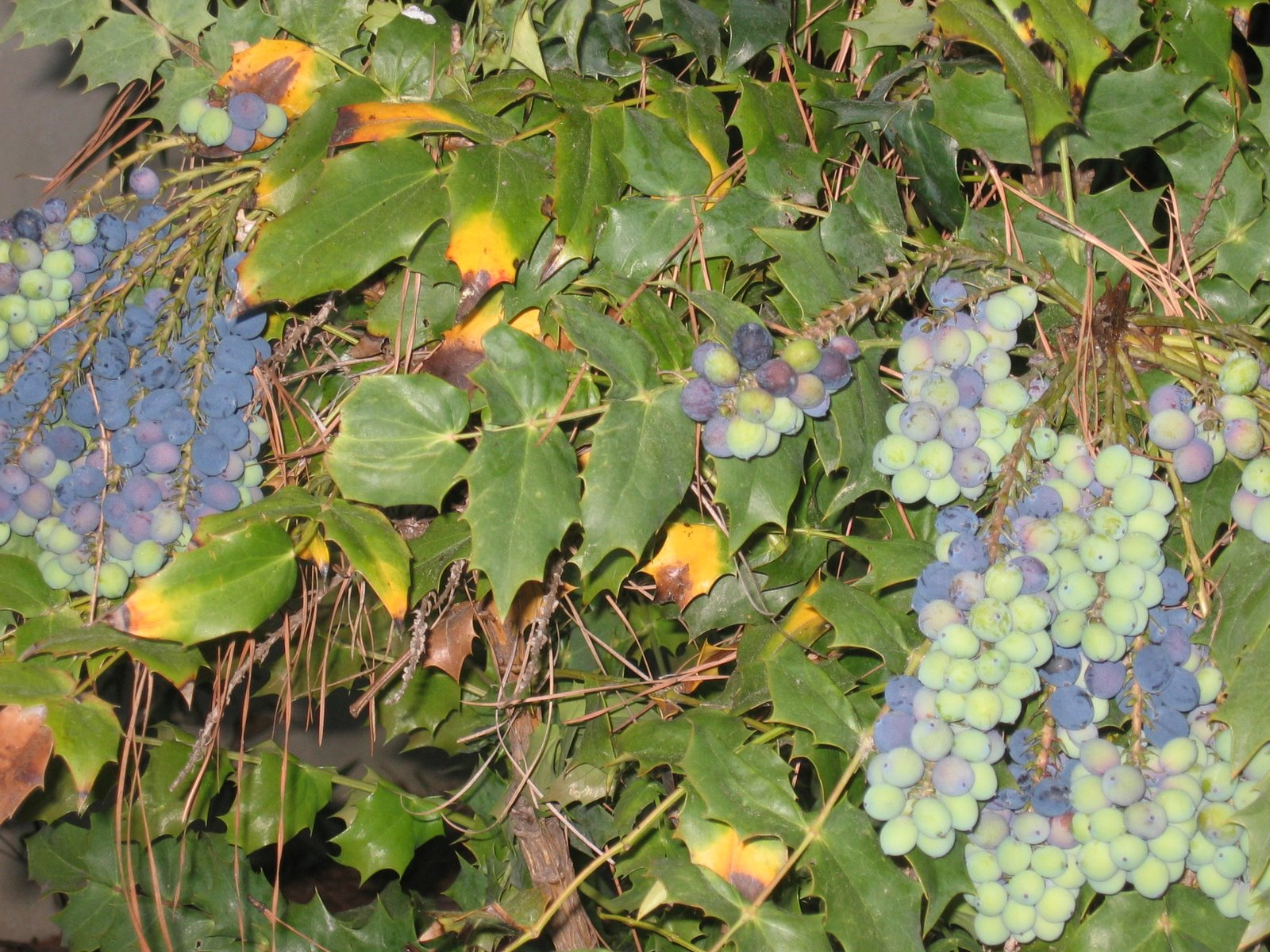grape bush detail
